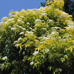 Golden Elderberry (Hedging)