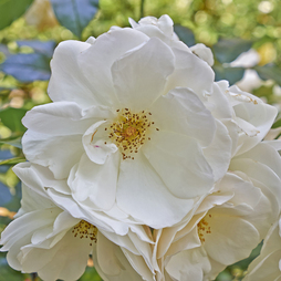 White Ramanas Rose (Hedging)