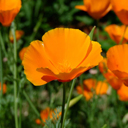 Californian Poppy 'Sun Shades'
