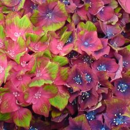 Hydrangea macrophylla GLAM ROCK 'Horwack'