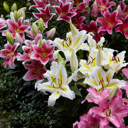 Lily 'Perfume Garden' Series