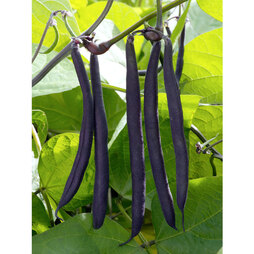 Dwarf Bean 'Purple Teepee'