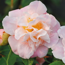 Camellia 'High Fragrance'