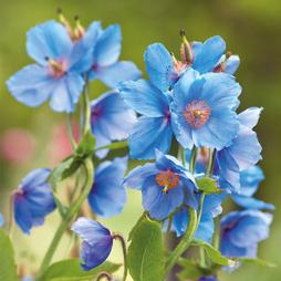 Meconopsis betonicifolia 'Blue'