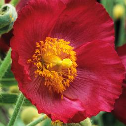 Meconopsis napaulensis