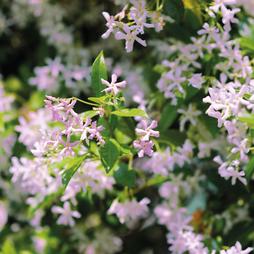 Trachelospermum 'Pink Shower'