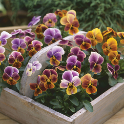 Viola 'Plums and Peaches'