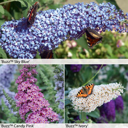 Buddleja 'Buzz® Collection
