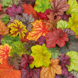 Heuchera 'Patchwork' Mix