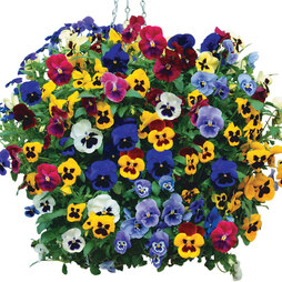 Pansy 'Matrix™ Mixed' (Pre-Planted Basket)