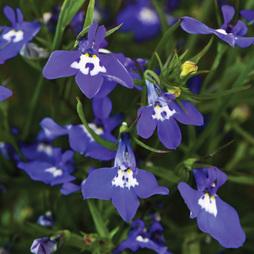 Lobelia pendula 'Sapphire Cascade'