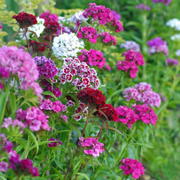 Dianthus barbatus 'Excelsior Mixed'