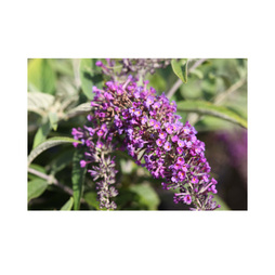 Buddleja 'Lo & Behold - Purple Chip'