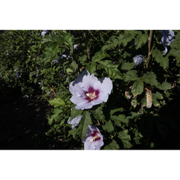 Hibiscus syriacus 'Cielo'