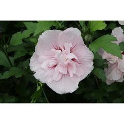 Hibiscus syriacus 'Pink Chiffon'