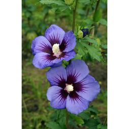 Hibiscus syriacus Ultramarine 'Minultra'