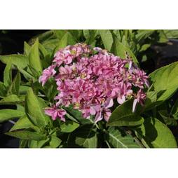 Hydrangea macrophylla 'You & Me - Romance'