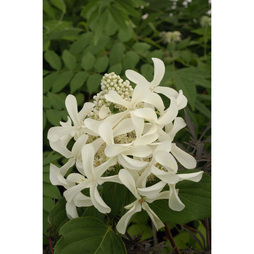 Hydrangea paniculata 'Great Star'
