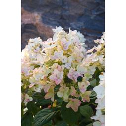 Hydrangea paniculata 'Tickled Pink'