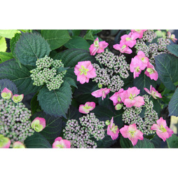 Hydrangea serrata 'Cotton Candy' (Flair & Flavours)