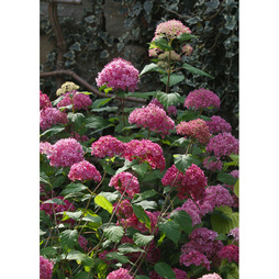Hydrangea arborescens 'Bella Anna'