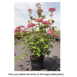 Hydrangea arborescens 'Pink Annabelle'