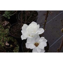 Magnolia denudata 'Double Diamond'