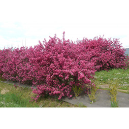 Crab Apple 'Prairifire'