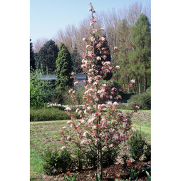 Crab Apple 'Red Obelisk'