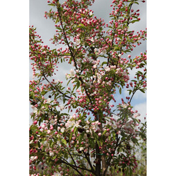 Crab Apple 'Sugar Tyme'