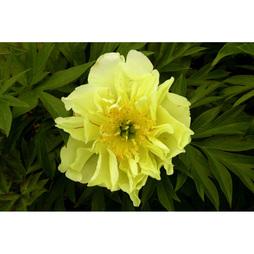 Peony 'Yellow Waterlily'