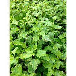 Physocarpus opulifolius 'Annys Gold'