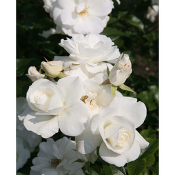 Rose 'Snow White' (Large Plant)