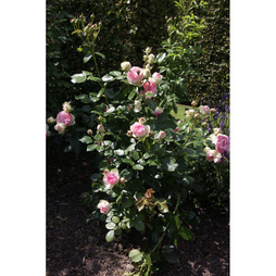 Rose 'Eden Rose 88' (Large Plant)