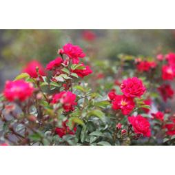 Rose 'Fairy Queen'