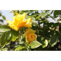 Rose 'Goldstar'