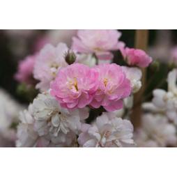 Rose 'Guirlande Rose' (Large Plant)