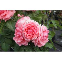 Rose 'Kimono'