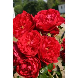 Rose 'Klettermaxe Florentina'