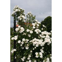 Rose 'Klettermaxe Hella'
