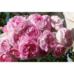 Rose 'Klettermaxe Jasmina'