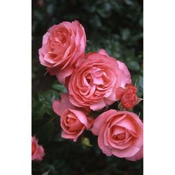 Rose 'Klettermaxe Rosanna'