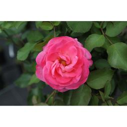 Rose 'Melrose'