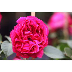 Rose 'Red Eden Rose'