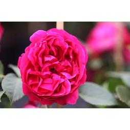 Rose 'Red Eden Rose'