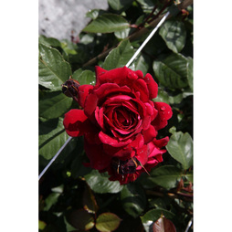Rose 'Thats Jazz' (Large Plant)