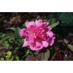 Rose 'Zéphirine Drouhin'