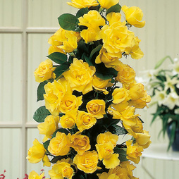 Rose 'Golden Showers' (Climbing)