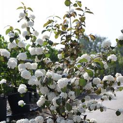Viburnum plicatum f. plicatum 'Mary Milton'