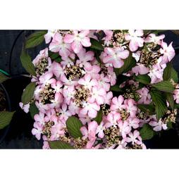Viburnum plicatum f. tomentosum 'Molly Schroeder'